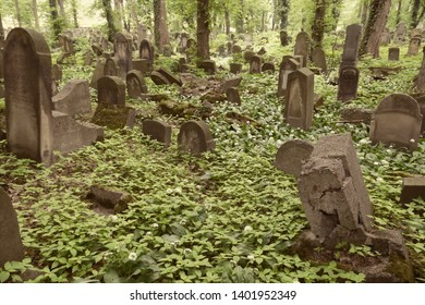Krakow, Poland - May 9, 2019: Old Jewish cemetery with its cluttered gravestones, for the most part abandoned, no longer well kept. Wild garlic plants (Allium ursinum) grow among old gravestones.