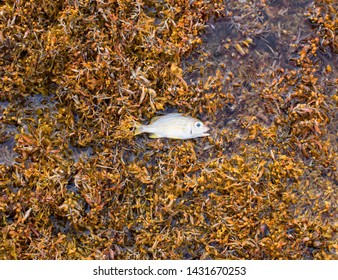 Kralendijk 22-06-2019: Sargassum Seaweed pilled up on the east coast of Bonaire March 2018. If piled up in water or on shore the will be not air/light left voor marine life to live.