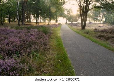 Kraloo, the Netherlands - August 23, 2019: Purple heather next to bike path on Kraloo Dwingelderveld, the Netherlands