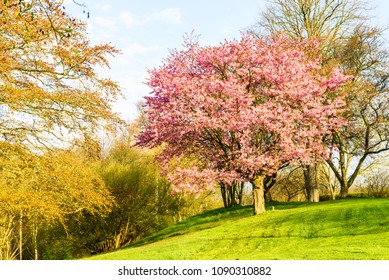 Krapperup, Sweden - Blooming Prunus sargentii or North Japanese hill cherry among other bare trees in a park on a sunny spring morning.