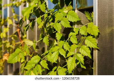 Krasnodar, Russia - October 7, 2018: Close-up of Campsis leaves on the surface of the pedestrian wall in the park Krasnodar or Galitsky on an autumn sunny day.