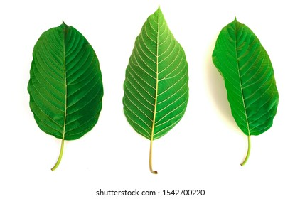 kratom leaf (Mitragyna speciosa) Mitragynine on white background isolate image,Drugs and Narcotics,Thai herbal which encourage health
