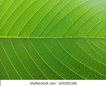 Kratom leaves, green leafy plants have benefits to help reduce fat,Kratom (Mitragyna speciosa) Mitragynine. Drugs and Narcotic