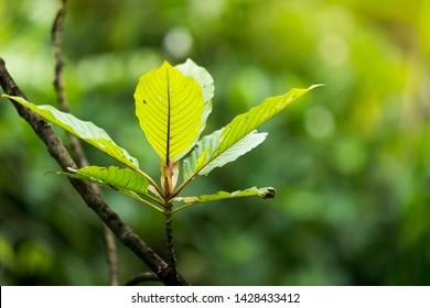 Kratom leaves.Close up of Mitragyna speciosa leaf, plant in thailand, Kratom is Thai herbal which encourage health.