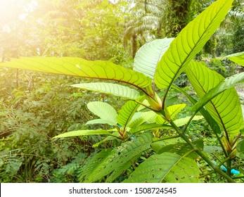 Kratom leaves.Mitragyna speciosa leaf. herb