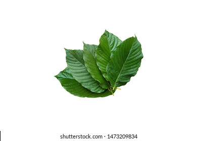 Kratom leaves.Mitragyna speciosa leaf isolated on white background with clipping path.Close up of Mitragyna speciosa leaf, plant in thailand, Kratom is Thai herbal which encourage health.