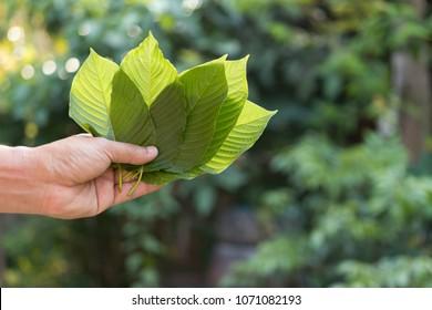Kratom (Mitragyna speciosa) Mitragynine. Drugs and Narcotics, Kratom leaf in hand