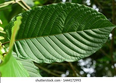 Kratom (Mitragyna speciosa) Mitragynine. Drugs and Narcotics.Kratom is Thai herbal which encourage health.