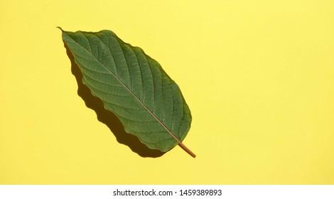 Kratom (Mitragyna speciosa) Mitragynine. Drugs and Narcotic