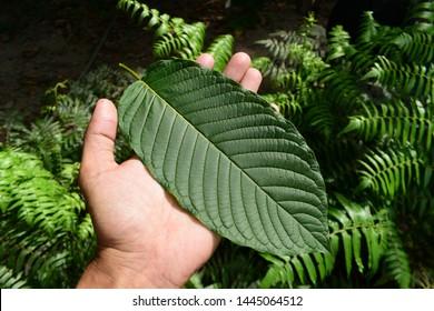 Kratom (Mitragyna speciosa) Mitragynine on palm. Drugs and Narcotics.Kratom is Thai herbal which encourage health.