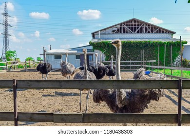KREMENCHUK, UKRAINE - Two ostriches for the native land on the farm