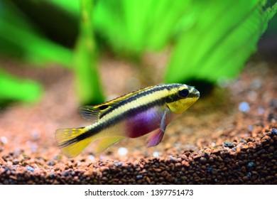 Kribensis (Pelvicachromis pulcher) freshwater cichlid fish in home aquarium