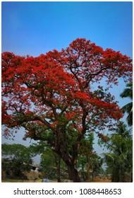 Krishna chura flowers tree