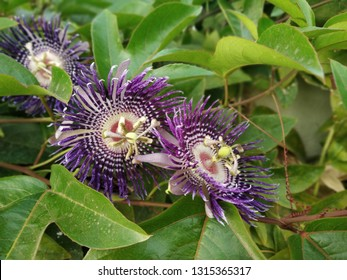 Krishna Kamal Flower is also known as the Passion Flower.