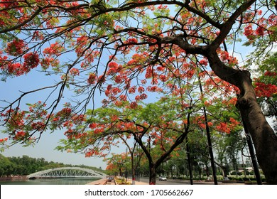 Krishnachura/ Gulmohar: Known as 'Royal Poinciana' is a native of Madagascar. It has been described as the most colourful tree and flame of forest.