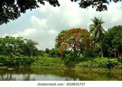 krishnachura tree in the pond adorns the village