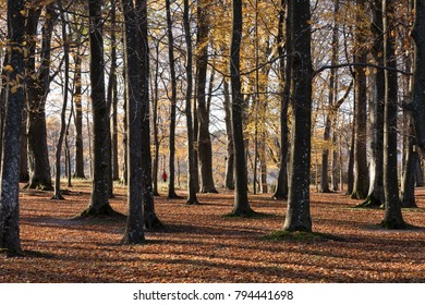 Kristiansand, Norway - November 5, 2017: The beech forest in the botanical garden at Gimle, Kristiansand. Autumn with fallen leaves on the forest floor.