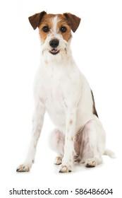 Kromfohrlander dog