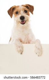 Kromfohrlander dog looking over a wall