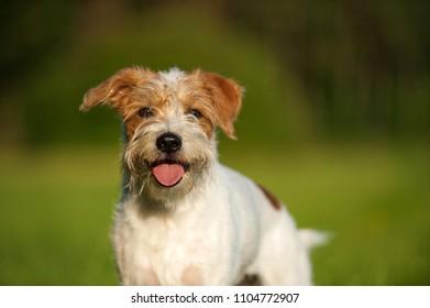Kromfohrlander dog in a meadow