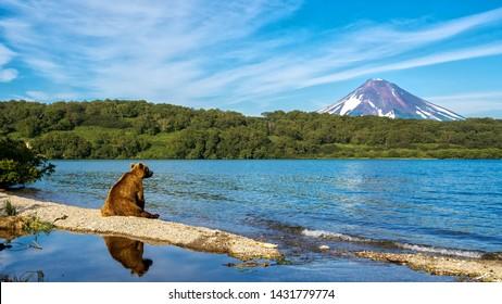 Kronotsky Reserve. The bear sits on the shore of the Kurile lake and looks towards the Ilyinsky volcano.