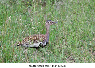 in Kruger national park rare female of kori bustard bird,South Africa