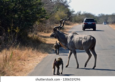 Kruger National Park, South Africa, Africa. June 2014. A kudu and some baboons on the roadside in Kruger National Park, South Africa.