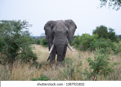 Kruger National Park. South Africa. April 12th, 2019. - A wild male African Elefant in the Savannah.