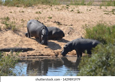 Kruger National Park, South Africa, Africa. June 2014. Hippos coexist with a crocodile at the riverside in Kruger Park.