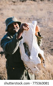 KRUGER NATIONAL PARK, SOUTH AFRICA- CIRCA NOVEMBER 2017: A ranger showcasing the carcass of a white rhino's skull during a game drive in the bush veld in South Africa.