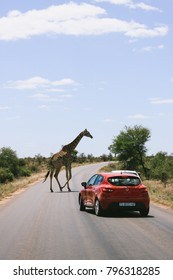 KRUGER NATIONAL PARK, SOUTH AFRICA - CIRCA NOVEMBER 2017: A car stopping to wait for a giraffe crossing the road in Kruger National Park, South Africa