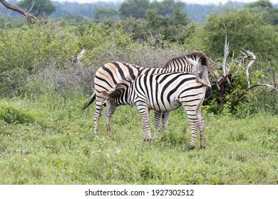 Kruger National Park: zebra foal drinking from mother