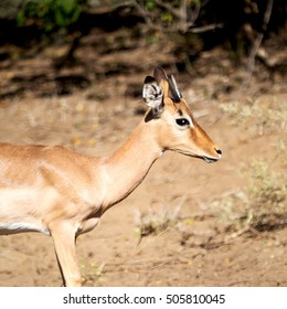 in kruger parck south africa wild impala in the winter bush