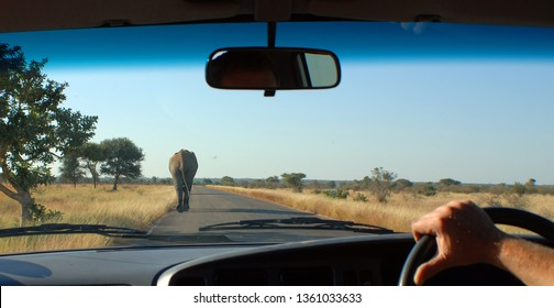 Kruger park South Africa: From inside a car African elephants are elephants of the genus Loxodonta, the bush elephant, is the largest living terrestrial animal,