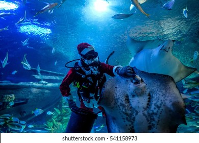 Kuala Lumpur, December 9, 2016. A diver in a Santa Claus costume feeding fish as part of the upcoming Christmas celebrations at Aquaria KLCC underwater park in Kuala Lumpur