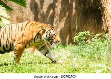 Kuala Lumpur, Malaysia - 19 February 2018: Male Tiger is slowly creeps.