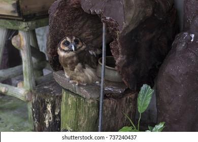 Kuala Lumpur, Malaysia - Aug 23, 2017 : KL Bird Park or Taman Burung. A brown wood owl or burung hantu punggur.
