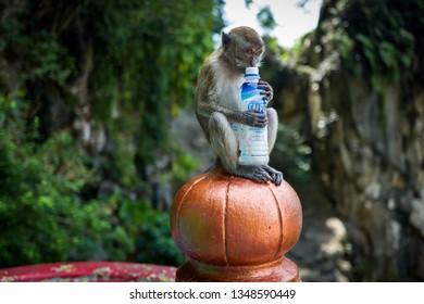 Kuala Lumpur, Malaysia - February 26, 2019: Monkey drinking from calpis bottle at Batu Caves.