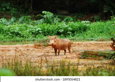 Kuala Lumpur, Malaysia – January 11, 2021:The image showing that the brown color warthog is a wild member of the pig family.