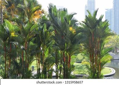 Kuala Lumpur park with lipstick palms, Malaysia