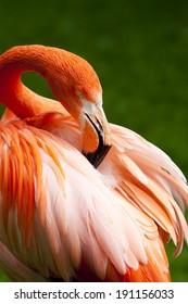 Kuba Flamingo is peering his feathers