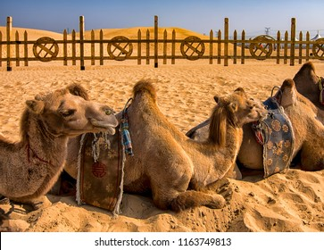Kubuqi Desert, Inner Mongolia province / China - July 31st 2016: Two-humped Bactrian Camels resting in sand of Kubuqi desert, near Ordos in Inner Mongolia, China