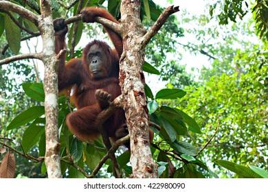 Kuching, Borneo. Sepilok Orang Utan Rehabilitation Centre - SEP 6, 2015: Orangutan thoughtfully hung on the tree