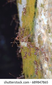kuching sarawak July23th 2017 : Insects bugs Pharaoh ant  Scientific name: Monomorium pharaonis  is eating its prey macro  and closeup around my home