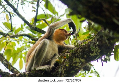kuching sarawak september23th 2017 : Proboscis Monkey (Nasalis larvatus) with long nose at bako national park endemic of Borneo. the picture has a bit of noise.