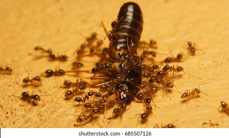 kuching,malaysia July23th 2017 : Insects termites are attacked by ants macro and closeup around my home