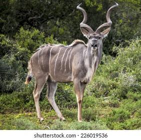 Kudu.