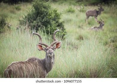 Kudu in the African bush
