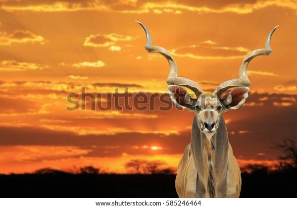 Kudu Antelope - African Wildlife Background - Sunset King