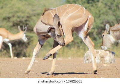 Kudu Antelope - Wildlife from Africa - The big Itch.  A calf tries to get red of a fly on its leg as it visits a watering hole on a game ranch in Namibia.  Hilarious and funny wildlife.